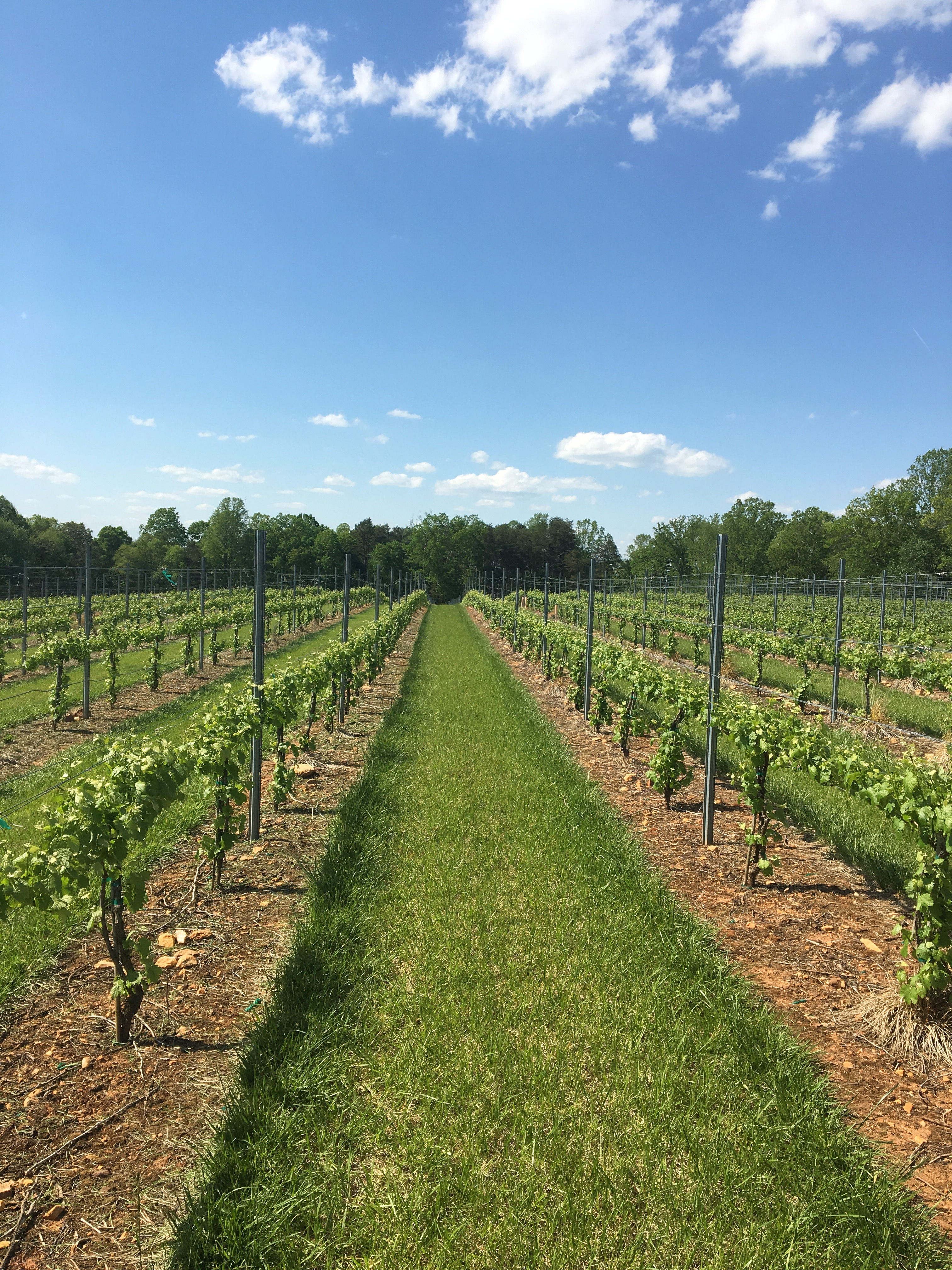 vineyard 2019 long rows